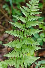 Niervarenfamilie, Dryopteridaceae