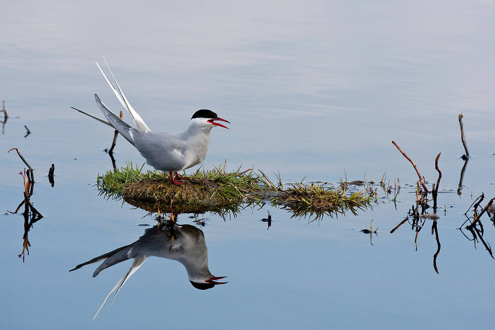 USA, Alaska, Anchorage.  Adult Arctic Tern (Sterna paradisaea) in breeding plumage on a small island at Potter Marsh in May.