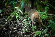 White- nosed Coati, Nasua narica, in Tikal National Park.  The ruins of the ancient Mayan city Tikal lie in present day Guatamala, near the border of Belize.