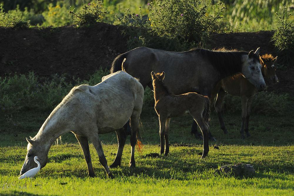 Little Egrets (Egretta Garzetta) and horses. Velipoja, Albania June 2009