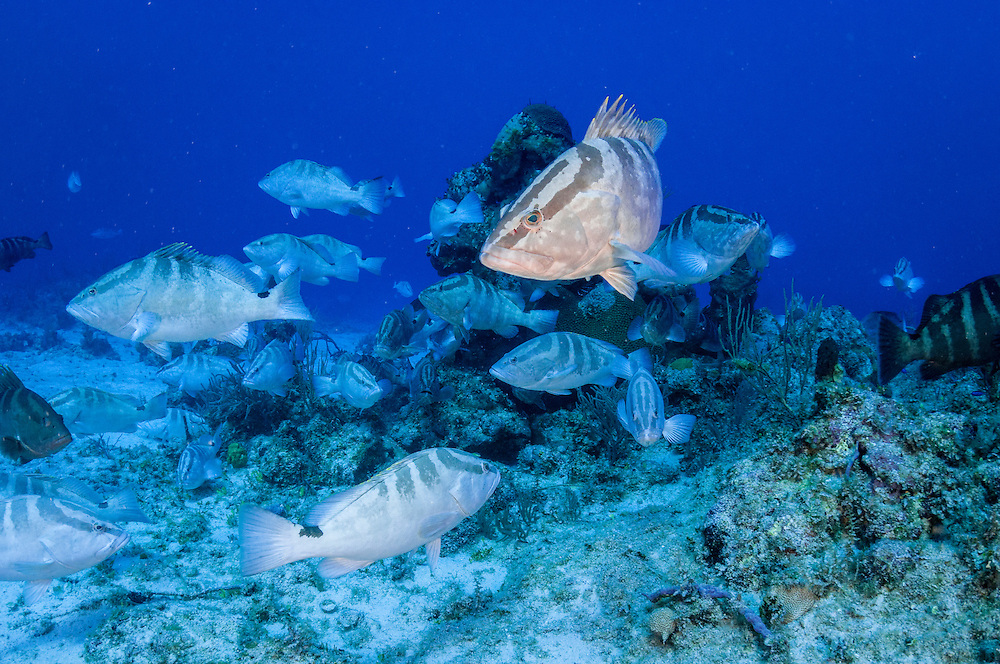 During the winter full moons the normally solitary Nassau grouper gather en masse to spawn at certain locations throughout the Caribbean. Learning about these aggregations is of major importance to protect and manage the economically and culturally important fishery for these endangered fish.