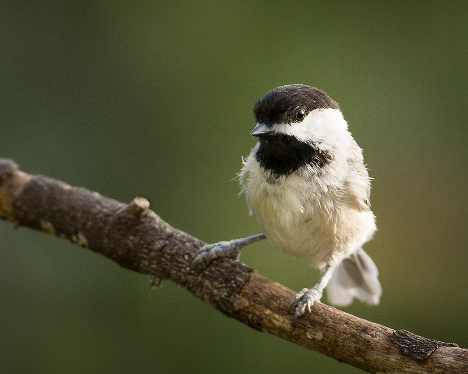 Poecile carolinensis, Central Texas