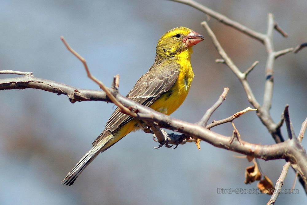 Northern Grosbeak-Canary, Crithagra donaldsoni, Ethiopia, by Markus Lilje