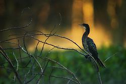 Reed cormorant (Microcarbo africanus) in Lake Naivasha, Kenya