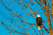 A Bald Eagle takes perch in a tree in Anchorage, Alaska.
