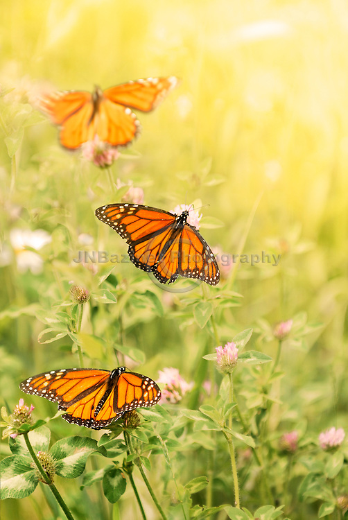 A trio of Monarch Butterflies among wildflowers.