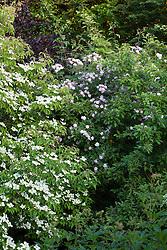 Rosa 'Paul's Himalayan Musk' growing through  Cornus 'Norman Hadden' at Glebe Cottage