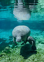 On the Spring Equinox 2019, a mother manatee swims into the  freshwater warm springs with her appx. two week old calf. USGS Manatee Individual Photo-Identification System IDed the mother. I have all the information, contact me, Carol Grant for specific information. Florida manatee, Trichechus manatus latirostris, a subspecies of the West Indian manatee, endangered IUCN. USFWS downlisted to Threatened in 2017. Kings Bay, Crystal River National Wildlife Refuge, Kings Bay, Crystal River, Citrus County, Florida USA.