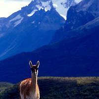 Chile, Torres del Paine National Park, Guanaco (Lama guanicoe) in alpine meadow near Cerro Paine Grande in Patagonia