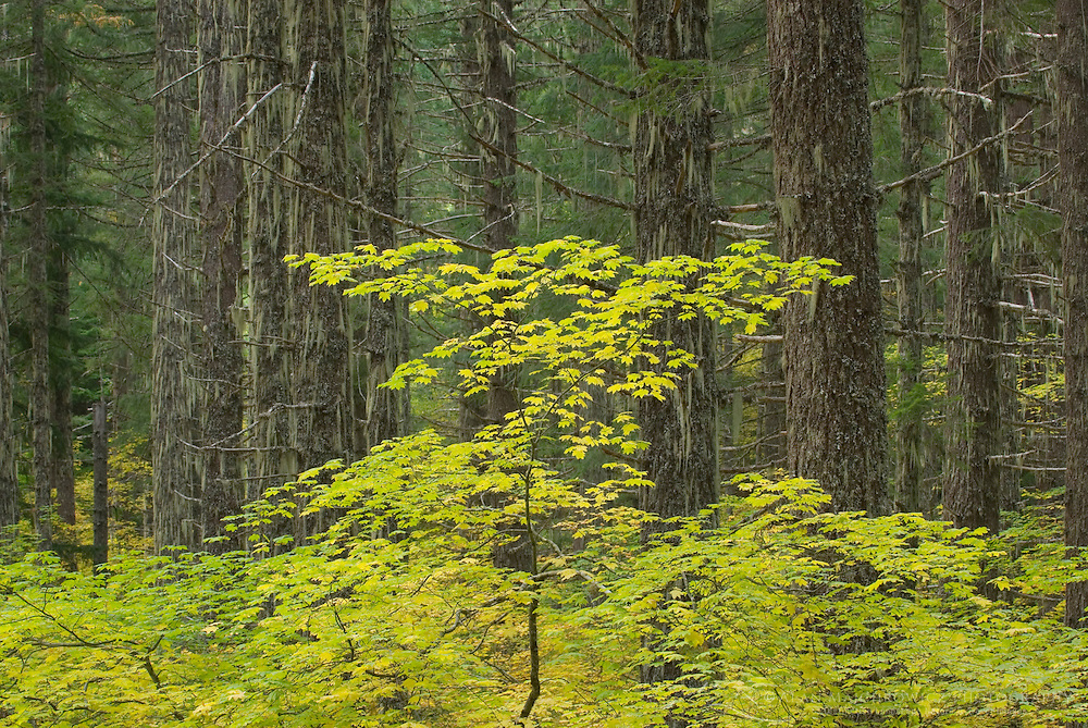 Vine Maples in fall color dominate the understory of an old growth forest near McKenzie Pass oregon