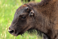 Bison, Buffalo or Tatanka