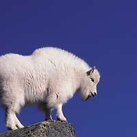 Mountain Goat kid in winter coat. Glacier National Park, Montana.