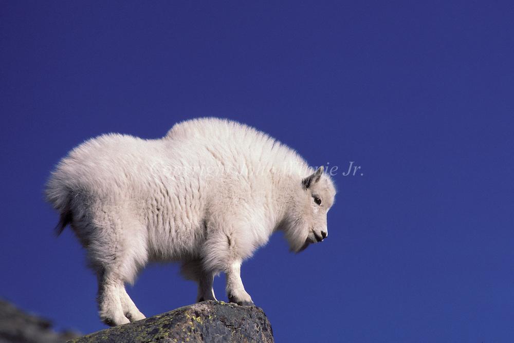 Mountain Goat kid in winter coat. Glacier National Park, Montana.