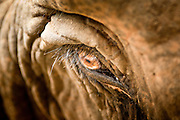 "27 JUNE 2011 - CHIANG MAI, THAILAND: The eye of an elephant at Elephant Nature Park near Chiang Mai, Thailand. Elephant Nature Park rescues working elephants abused by the owners. Many of the rescued elephants used to work ""begging"" in the tourist districts of Bangkok and other Thai cities. A few of the elephants were injured by landmines on the Thai-Burma border. Tourists are not allowed to come into close contact with bull elephants because they are more unpredictable and aggressive than the cows.    PHOTO BY JACK KURTZ"