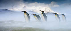 King Penguins (Aptenodytes patagonicus) in snow blizzard in South Georgia.
