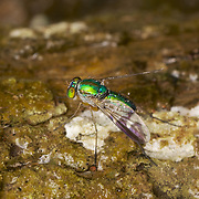 Dolichopodidae, the long-legged flies, make up a large family of true flies with more than 7,000 described species in about 230 genera distributed worldwide. The adults are predatory on other small animals.