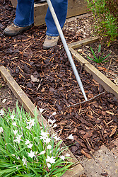 Refreshing a bark path in the vegetable garden by covering with bark chippings and spreading with a rake to control weeds