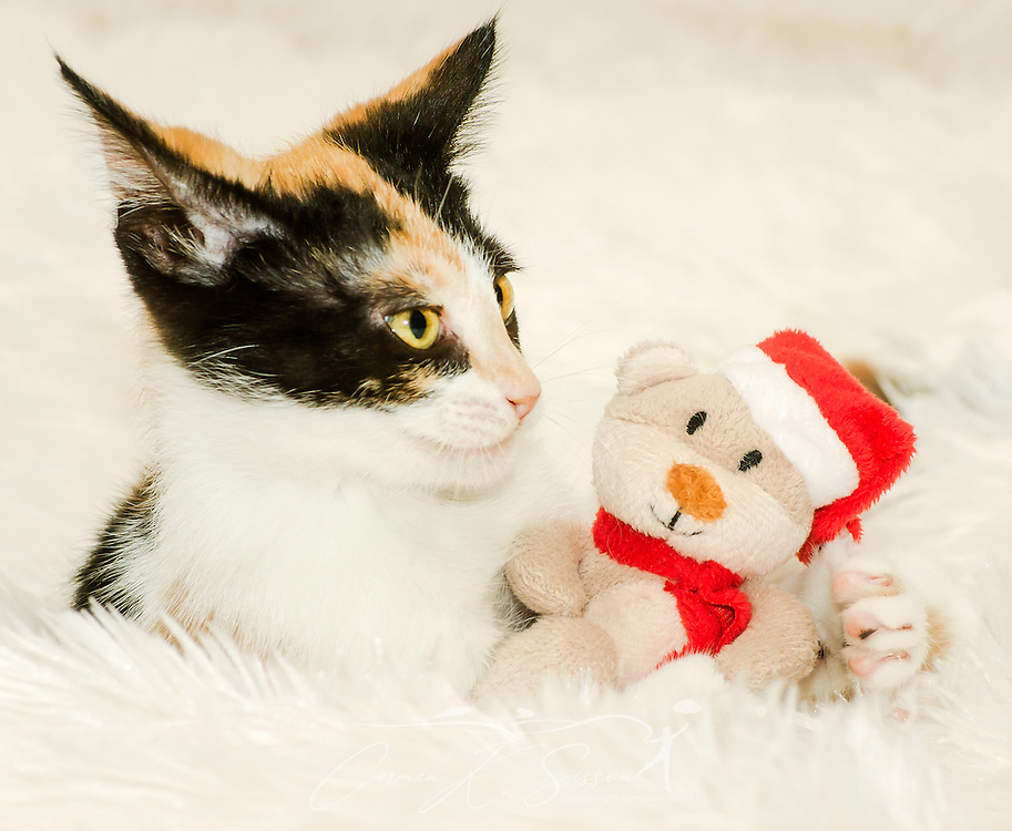 Pumpkin, a three-month-old calico cat, plays with a Christmas toy, Dec. 26, 2014, in Coden, Alabama. (Photo by Carmen K. Sisson/Cloudybright)