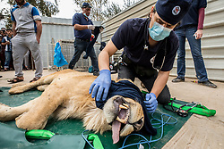 March 30, 2017 - Mosul, Nineveh Province, Iraq - DR. OVIDIU ROSU covers the eyes of SIMBA to help calm him during his examination. A lion and a bear, just rescued from Mosul's zoo, are prepared to fly to safety outside Iraq and into Erbil, Kurdistan. The two animals nearly starved to death in their cages while battle raged around them in the Iraqi city earlier this year. Several other animals at the zoo died from neglect but these two were finally rescued by the animal charity Four Paws. (Credit Image: © Gabriel Romero via ZUMA Wire)