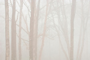 Hardwood trees in heavy fog<br /> Lake Superior Provincial Park<br /> Ontario<br /> Canada