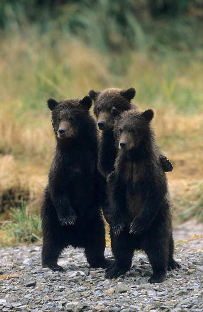 Alaskan Brown Bear, (Ursus middendorffi) Three Cubs standing. Katmai National Park. Alaska.