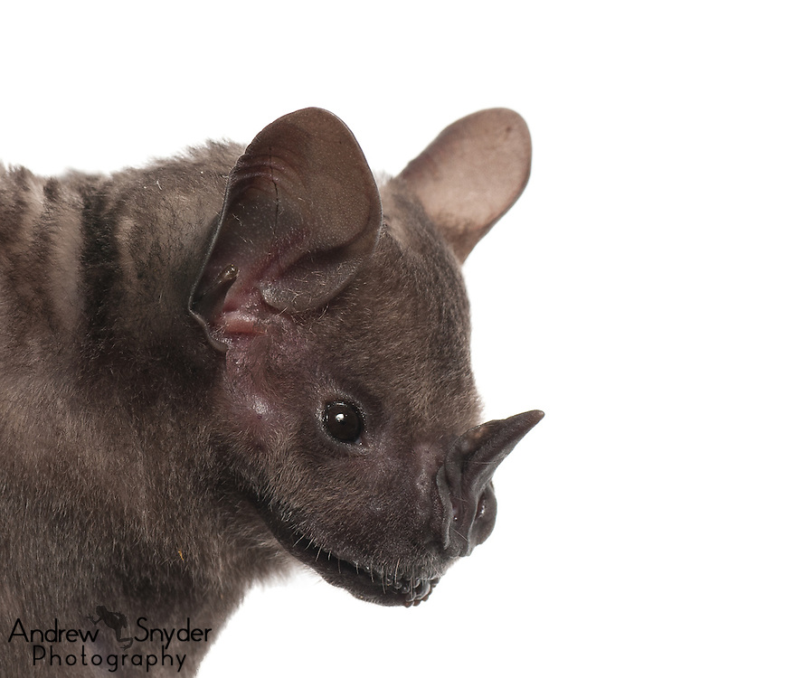 Flat-faced fruit-eating bat (Artibeus planirostris) - Guyana