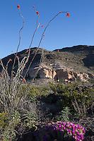 Ocotillo (Fouquieria splendens) and Strawberry Cactus  (Echinocereus  enneacantus), Big Bend Ranch State Park, Texas