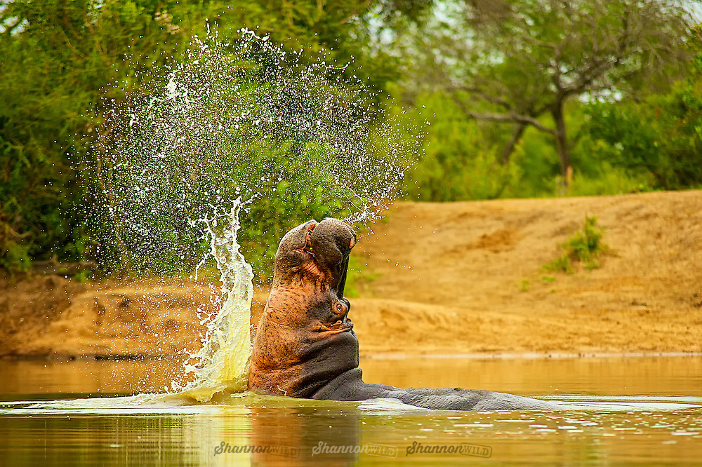 The common hippopotamus is semiaquatic, inhabiting rivers, lakes and mangrove swamps, where territorial bulls preside over a stretch of river and groups of five to 30 females and young. During the day, they remain cool by staying in the water or mud; reproduction and childbirth both occur in water. They emerge at dusk to graze on grasses. While hippopotamuses rest near each other in the water, grazing is a solitary activity and hippos are not territorial on land.