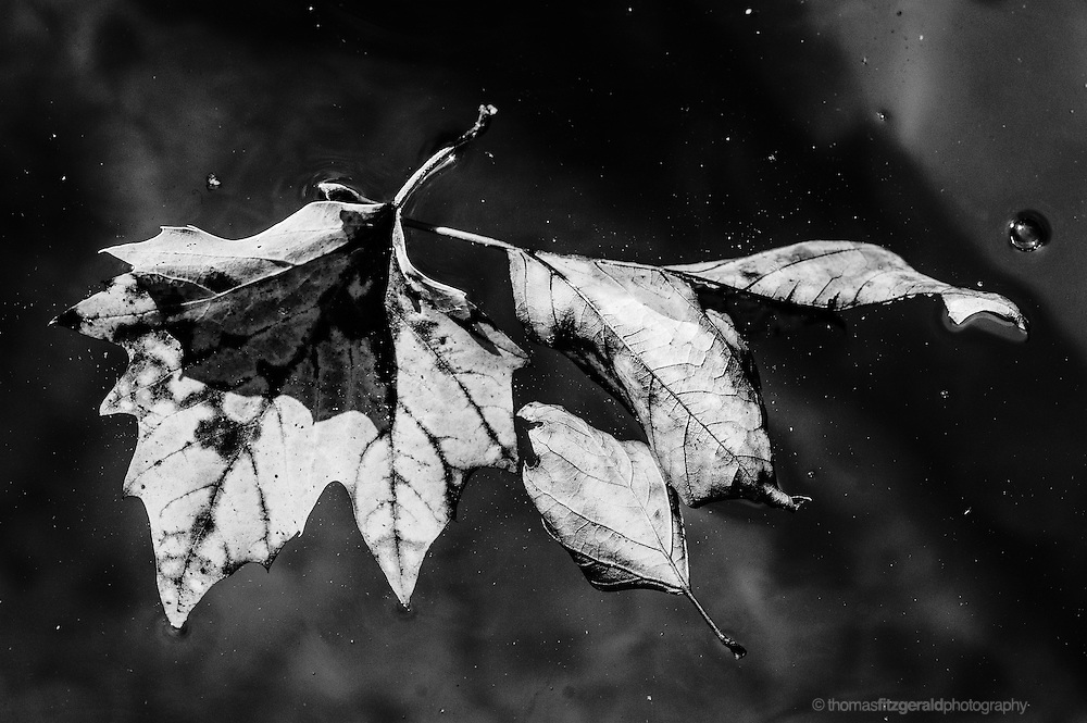 Black and white Autumn leaves floating in the water