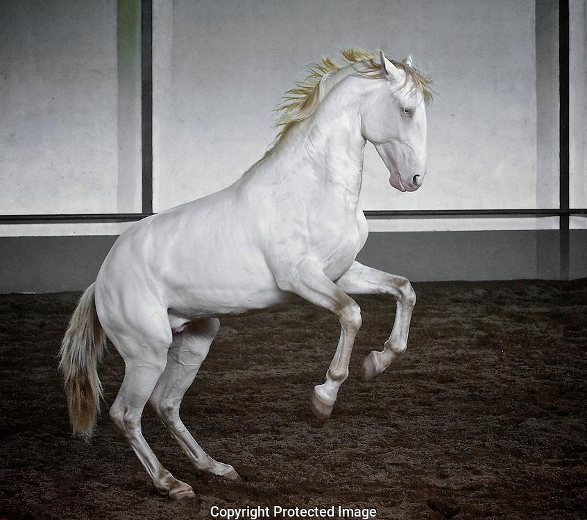 Lusitano stallion at liberty.