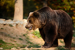 ROMANIA ZARNESTI 25OCT12 - Eurasian brown bear Jexy strolls through her training  enclosure at the Zarnesti Bear Sanctuary in Romania, funded by WSPA.....With over 160 acres (70 hectares) spread over a wooded hillside, it is Romania's first bear sanctuary and today houses 67 bears rescued from ramshackle zoos and cages at roadside restaurants.....jre/Photo by Jiri Rezac / WSPA....© Jiri Rezac 2012