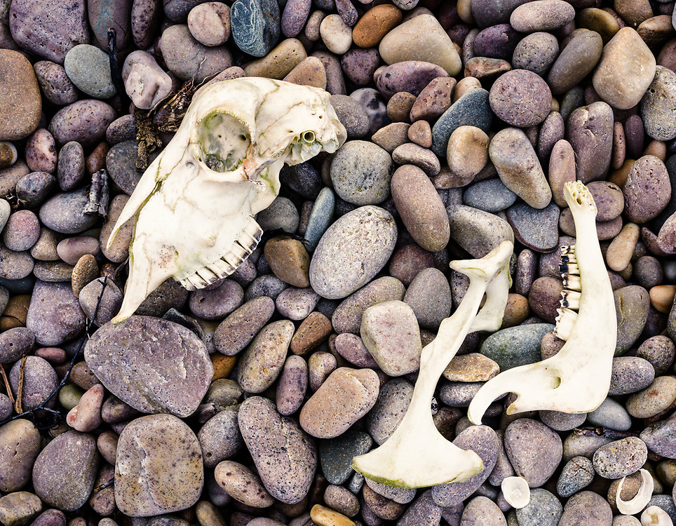 Skull on the foreshore, Claggain Bay, Islay, Scotland