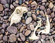 Skull on the foreshore, Claggain Bay, Islay, Scotland
