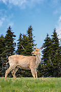 Columbia Black-Tailed Deer at Hurrican Ridge in Olympic National Park, Washington