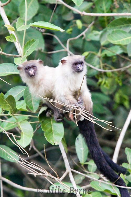 Black-tailed Marmoset (Mico melanura) near Araras Eco Lodge (Pantanal, Mato Grosso, Brazil)