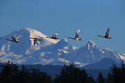 A line of trumpeter swans flies past Mt. Baker. (Mark Harrison / The Seattle Times, 2014)