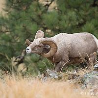bighorn ram rutting head down
