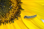 Close up of a caterpillar on a yellow sunflower