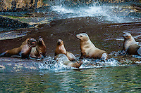 Sea lions on a rock along the 2000 foot deep Lynn  Canal between Haines and Juneau, Inside Passage, southeast Alaska USA.