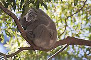 Sleeping Koala, Australia