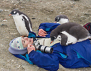 "A curious Gentoo Penguin  (Pygoscelis papua) chick cuddles onto a warm tourist on Aicho Island, Antarctica. ""Don't approach penguins closer than 15 feet,"" says an Antarctic tourism rule in 2005. But if you lie down on the ground more than 15 feet away, a curious Gentoo Penguin chick may approach you. An adult Gentoo Penguin has a bright orange-red bill and a wide white stripe extending across the top of its head. Chicks have grey backs with white fronts. Of all penguins, Gentoos have the most prominent tail, which sweeps from side to side as they waddle on land, hence the scientific name Pygoscelis, ""rump-tailed."" As the the third largest species of penguin, adult Gentoos reach 51 to 90 cm (20-36 in) high. They are the fastest underwater swimming penguin, reaching speeds of 36 km per hour. For licensing options, please inquire."
