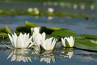 Water lily (Nymphaea odorata) on Lake Skadar, Montenegro
