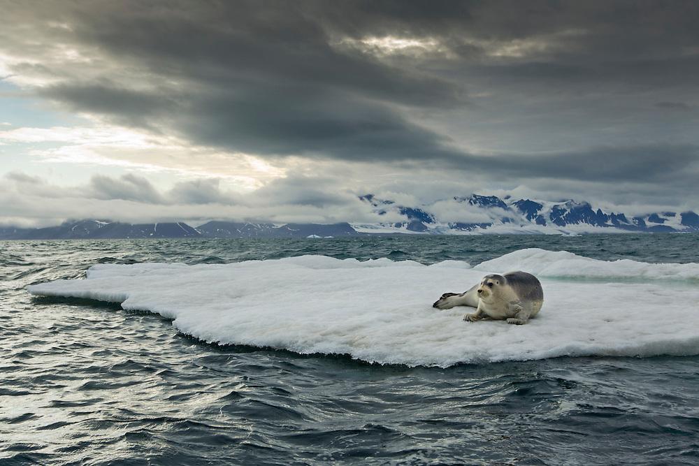 Norway, Svalbard, Spitsbergen Island, Bearded Seal (Erignathus barbatus) resting on melting sea ice near Prins Karls Forland