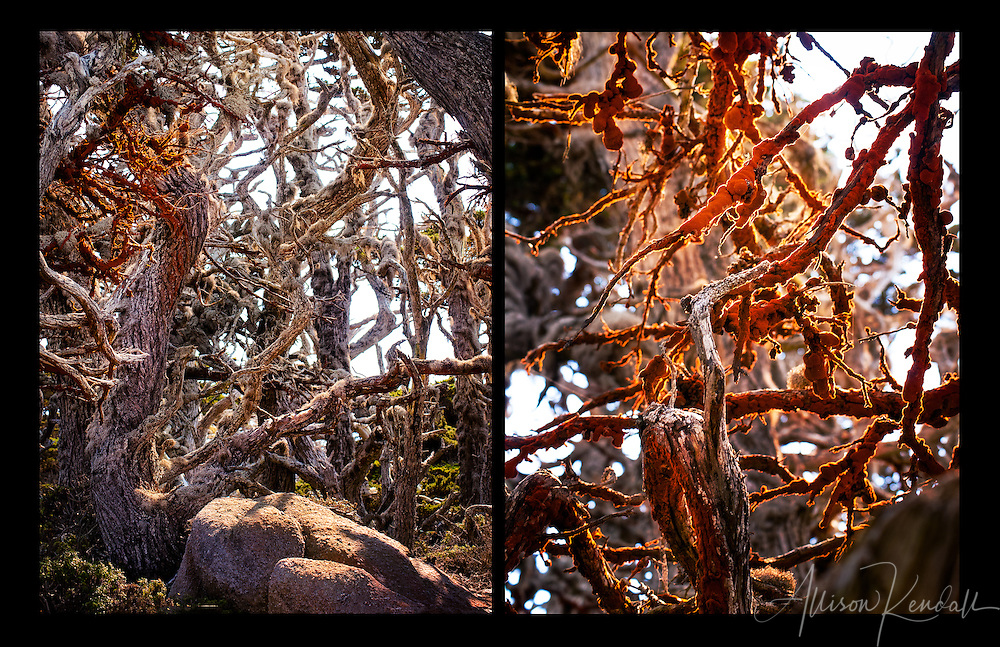 Surreal and spooky trees covered in red lichen and moss fill the Point Lobos forest with mystery