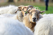 Nederland, Groenekan, 30-3-2017Schaapskudde met honden en herdersFoto: Flip Franssen