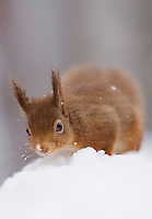 Red squirrel(Sciurus vulgaris)  in snow-laden forest. Cairngorms National Park, Scotland.