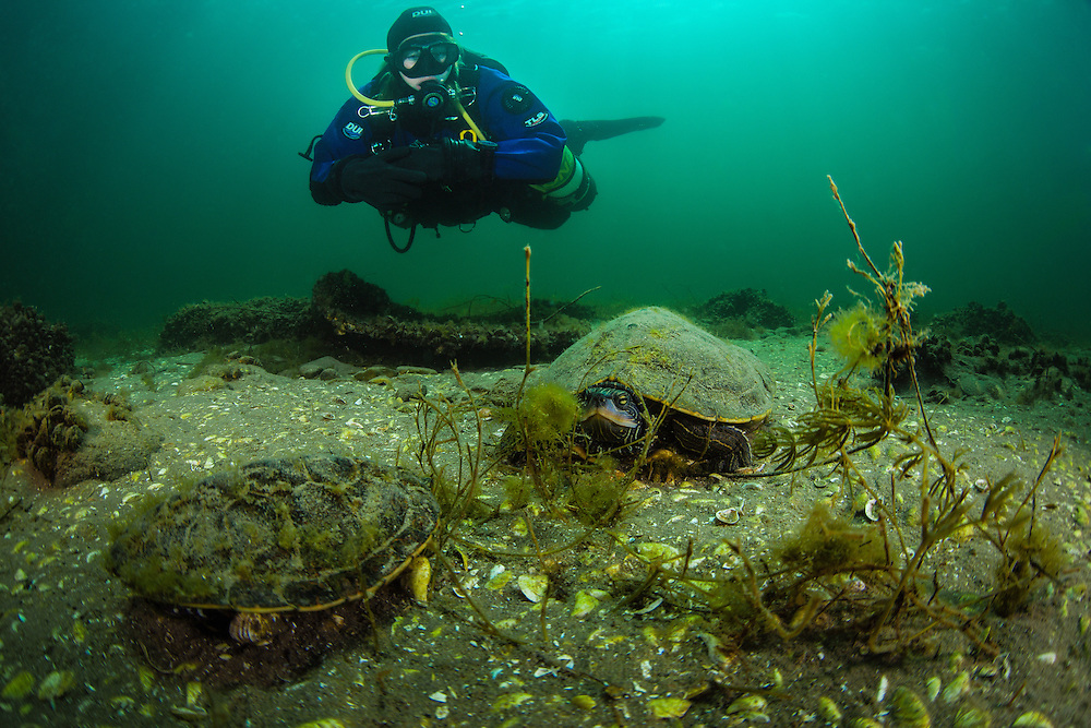 Un plongeur observe des tortues géographiques, une espèce en péril au Canada. Fleuve Saint-Laurent, Ontario, Canada. | Diver observing goegraphic turtles, a species at risk  in Canada. St-Lawrence River, Ontario, Canada.