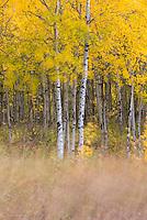 Aspen Trees (Populus tremuloides), Glacier National Park Montana USA
