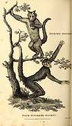 Four fingered Monkeys from General zoology, or, Systematic natural history Part I, by Shaw, George, 1751-1813; Stephens, James Francis, 1792-1853; Heath, Charles, 1785-1848, engraver; Griffith, Mrs., engraver; Chappelow. Copperplate Printed in London in 1800. Probably the artists never saw a live specimen