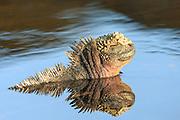 Iguana enjoying a bath at Santiago Island, Galapagos | Iguan som nyter et bad på Santiago øya på Galapagos.